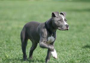 foto blue pitbull 2