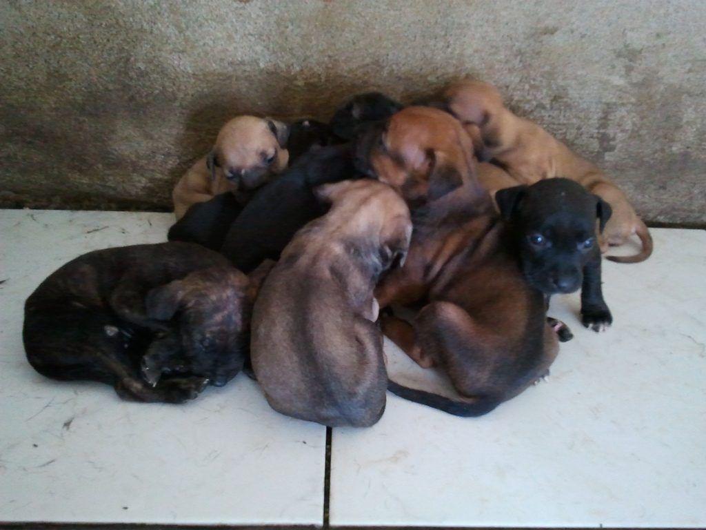 pitbull criaderos